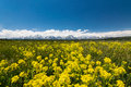 Yellow meadows at grand teton national park Royalty Free Stock Photo