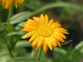 Yellow medical flower Royalty Free Stock Photo