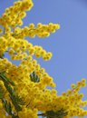 Yellow mimosa in bloom Royalty Free Stock Photo