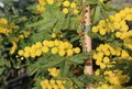 Yellow mimosa in bloom symbol of international womens day Royalty Free Stock Photo
