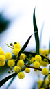 Yellow mimosa flower balls swaying in the wind early spring Royalty Free Stock Image