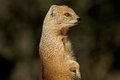 Yellow mongoose close up of a cynictus penicillata kalahari desert south africa Royalty Free Stock Photos