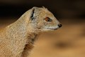 Yellow mongoose close up of a cynictus penicillata kalahari desert south africa Royalty Free Stock Photo