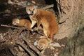 Yellow mongoose cynictis penicillata with babies wild life animal Royalty Free Stock Photo