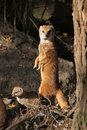 Yellow mongoose cynictis penicillata with a baby wild life animal Stock Images