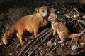 Yellow mongoose cynictis penicillata with a baby wild life animal Stock Photos
