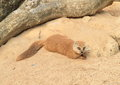 Yellow mongoose cynictis penicillata family herpestidae having rest on sand Stock Photo