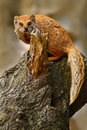 Yellow Mongoose, Cynictis penicillata, sitting on the tree trunk. Yellow Mongoose in the nature habitat. Yellow Mongoose with long Royalty Free Stock Photo