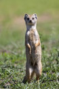 Yellow Mongoose hunting for prey on short green grass Royalty Free Stock Photo