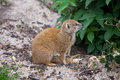 Yellow mongoose latin name cynictis penicillata sitting on the ground Royalty Free Stock Image