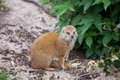 Yellow mongoose latin name cynictis penicillata sitting on the ground Royalty Free Stock Photos