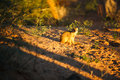 Yellow mongoose a sitting on the sand in the sunset Royalty Free Stock Photo