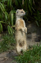 Yellow mongoose standing up Royalty Free Stock Images