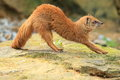 Yellow mongoose the stretching on the rock Stock Images