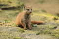 Yellow mongoose the young sitting on the rock Stock Photography
