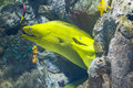 Yellow moray fish in coral reef close up Royalty Free Stock Image