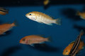 Yellow morph of labidochromis caeruleus aquarium fish tropical Stock Photos