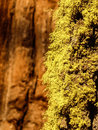 Yellow moss on an old tree in yosemite national park Royalty Free Stock Photo