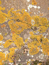 Yellow moss on a rock surface Royalty Free Stock Image