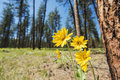 Yellow Mountain Daisy Arnica flower with red pine forest Royalty Free Stock Photo