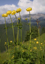 Yellow mountain flower Stock Photo