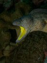 Yellow mouthed moray eel macro portrait of a Stock Photos