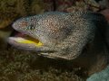 Yellow mouthed moray eel macro portrait of a Royalty Free Stock Photo