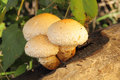 Yellow mushrooms pholiota destruens on the tree Royalty Free Stock Image