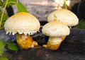 Yellow mushrooms pholiota destruens on the tree Stock Photos