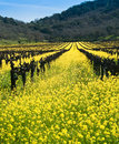 Yellow Mustard bloom in Napa, California Stock Photo