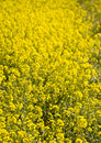 Yellow mustard flowers Royalty Free Stock Image