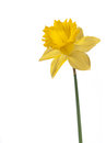 Yellow narcissus Royalty Free Stock Image