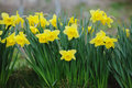 Yellow narcissus field Royalty Free Stock Photo