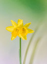 Yellow narcissus flower close up green to yellow degradee background know as daffodil daffadowndilly narcissus and jonquil Stock Image