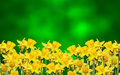 Yellow narcissus flower close up green to yellow degradee background know as daffodil daffadowndilly narcissus and jonquil Royalty Free Stock Images
