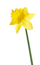 Yellow narcissus isolated on a white background Stock Photo