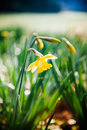 Yellow narcissus in park flower garden shallow depth of field tilt shift lens used to outline the flower and to emphasize the Stock Photo