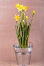 Yellow Narcissuses Stock Photo