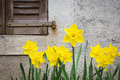 Yellow narcissuses near the wall close up Royalty Free Stock Photography