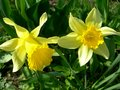 Yellow narcissuses in the spring blossom Stock Photography