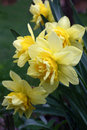 Yellow narcissuses on a vertical in flower bed of spring garden with bud of difficult structure blossom Stock Photo