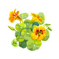 Yellow nasturtium flowers and leaves painted with watercolor