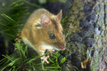 Yellow-necked Wood Mouse Royalty Free Stock Photography