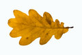 Yellow oak leaf autumnal isolated on white Stock Images