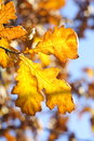 Yellow oak leaves Royalty Free Stock Photo