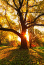 Yellow oak tree and natural sun beams at fall season Stock Image
