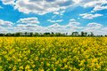 Yellow oil rape seeds in bloom. Field of rapeseed - plant for green energy.