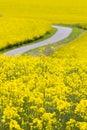 Yellow oilseed rape field Royalty Free Stock Photo