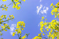 Yellow oilseed rape flowers on blue sky and clouds background, c Royalty Free Stock Photo