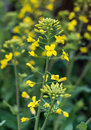 Yellow oilseed rape flowers Royalty Free Stock Photo